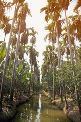 A view of a Betel palm tree along the field plantation in the country side at Thailand.