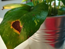A view of a big dark spot of leaf blight disease on a Devil's Money plant.