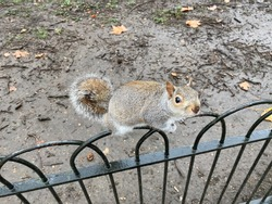 A view of a Grey Squirrel in London