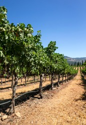 A view of a vineyard in Calistoga, Northen Napa Valley, USA