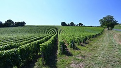 A view of a vineyard of the Loire Valley near the town of Sancerre, in a summer afternoon. Rows of vine are perfectly aligned on the slope of a hill.