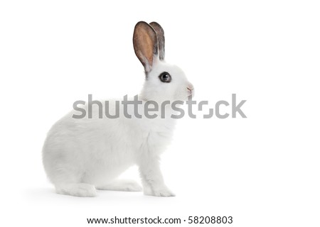 A view of a white rabbit isolated on white background
