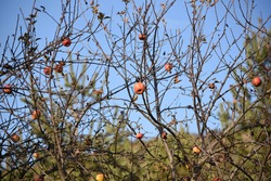A view of a wild and uncultivated apple tree in the mountains with some fruit on it.