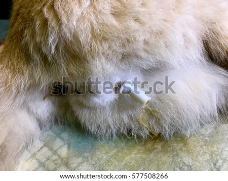 Shutterstock A view of procedure, catheter inserted in penis of male feline cat due to urinary blockage in Feline lower urinary tract disease (FLUTD) or feline urologic syndrome (FUS)