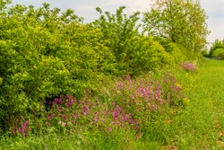 A view of Red Campion flowers growing in a hedgerow near Market Harborough, UK in springtime