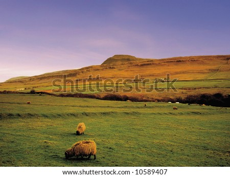 A view of sheep illustrating - animal farm farming agriculture wool livestock animal.