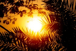 A view of the golden sunset through the gaps in the leaves of the palm tree. Silhouette sunset view.