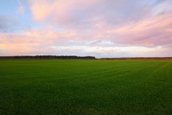 A view of the green countryside agricultural plowed field with a tractor tracks at sunset. Beautiful pink cloudscape. Classical rural scene. Climate change theme. Latvia