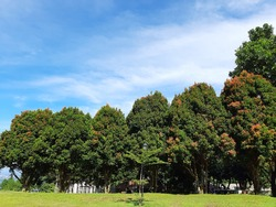A view of the treetops against a background of blue sky with beautiful white clouds in the morning.  These kinds of sightings are common in the tropics during all seasons.