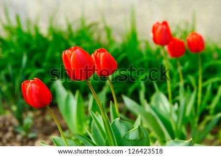 A view on red tulip flowers in soil