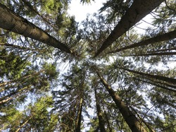A view straight up from the ground to the treetops in the forest. Low angle shot. Tree crowns and blue sky. Beautiful symmetry in forest.