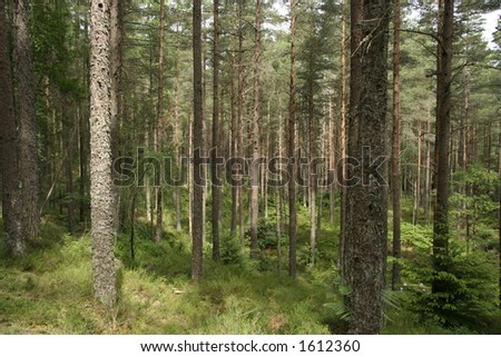 A view through a forest of Scots pine trees on a sunny day