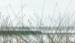 A view to a surf beach through reeds on a cold overcast wintery day. Waves crashing on a coastal beach with sund dune grasses in the foreground. No people
