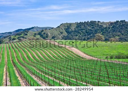 A vineyard landscape near Santa Barbara, California.