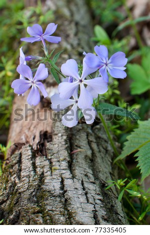 a violet blue petals of a woodland phlox sprout over a fallen tree. The fragrance of the petals can be imagined through this picture.