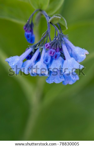 a violet blue tubular petals of a virginia bluebell covered with dew drops.