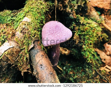 d5499bc3305 A violet webcap fungus growing inside Mount Willard Trail from Mount  Willard that is a mountain