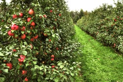 A visit to orchard is amazing experience where we can come across variety of apples.