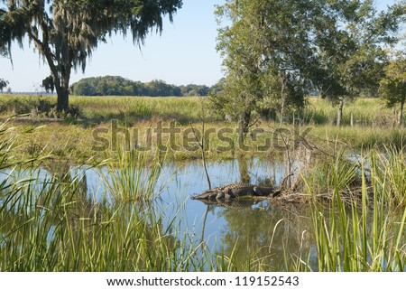A vista with sleeping alligator at the Savannah National Wildlife Refuge in South Carolina.