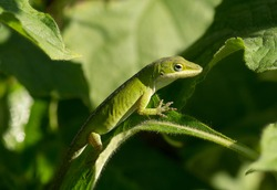 A vivid colored Green Anole rests nicely camouflaged in the foliage of a South Carolina garden.