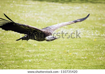 A vulture flying over the ground