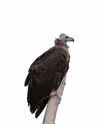 A vulture sits on a log, a vulture on a white isolated background. A large carnivorous bird on a white background.