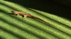 A wall lizard laying on green soft matting basking in the rays of sunlight