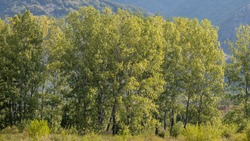 A wall of black poplar trees on a cloudy summer day. The Balkan mountains can be seen behind them