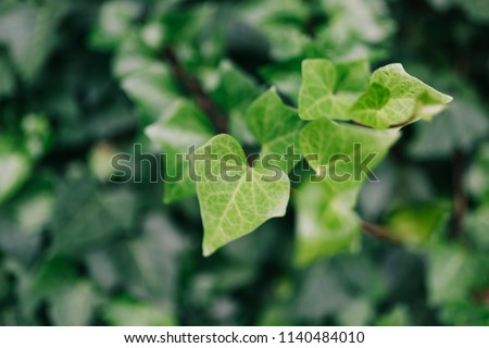 A wall of common ivy. Usable as a background or texture. Also known as european ivy, english ivy or ivy. #1140484010