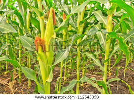 A wall of corn stalks full of corn, in vertical format. - stock photo