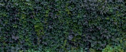 A wall overgrown with ivy. Background with a hedge.