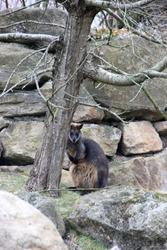 a wallaby hiding behind a tree