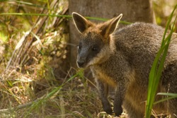 A wallaby hiding in the brush along a hiking trail in Victoria Australia