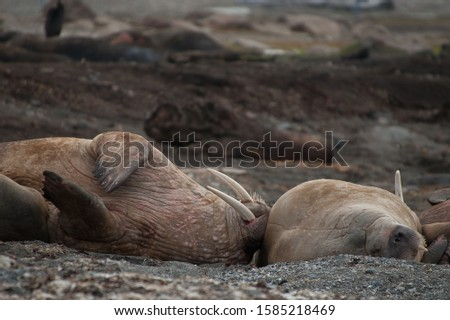 A Walrus (odobenus rosmarus) lays its head against the body of another walrus as it lies on its back with tusks pointing into the air.Comical Wildlife.Image