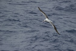 A Wandering Albatross soars above the waves in search of food, Drake Passage, Southern Ocean, Antarctica