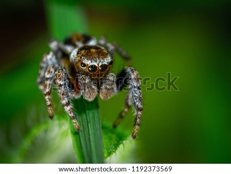 A wandering spider is photographed close up, Black Widow Spider, Extreme magnification - Jumping spider portrait, Jumping spider ,macro picture background, colourful big and  small spiders in nature
