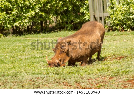 A warthog just emerging from a brush thicket at the elephant orphanage in Nairobi, Kenya. #1453108940