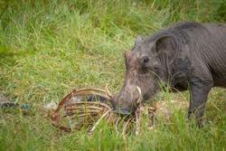 A warthog (Phacochoerus africanus) scavenging on a carcass , Lake Mburo National Park, Uganda.