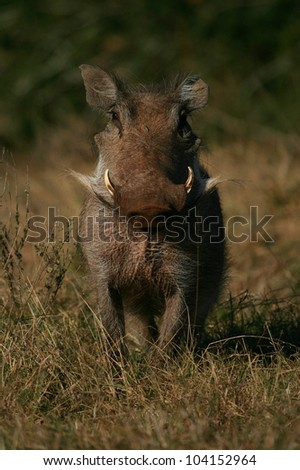 A warthog / wild pig poses in this front on portrait in a grass field and looks at the camera.Took this image while on safari in Addo elephant national park,eastern cape,south