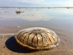 A washed up giant jelly fish aquatic sea creature, stranded and beached on a sunny beach setting. Transparent sea creatures ecology and translucent jellies. Dead animals