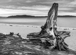A washed up tree stump on Owen Beach in Tacoma, Washington