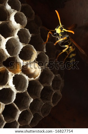 A wasp and its honeycomb