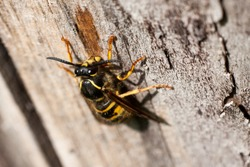 A wasp feeding on dry wood of a sour cherry tree in a garden or park in spring sun. Wasps, like bees and hornets, are equipped with a stinger as a means of self-defense.