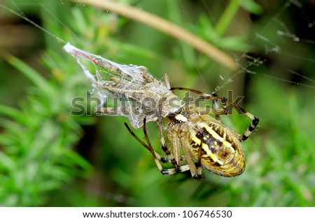 A wasp spider (Argiope bruennichi) preying on a grasshopper caught on her web, against a green background.