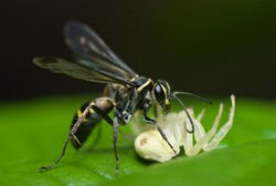 A wasp with prey - a crab spider