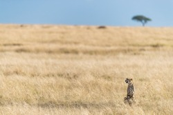A watchful cheetah, acinonyx jubatus, in the grasslands of the Masai Mara, with an acacia tree on the horizon against a clear blue sky.