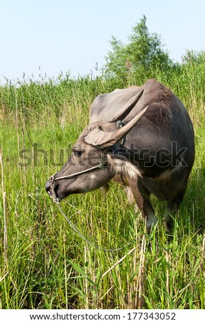 A water buffalo on the lawn #177343052
