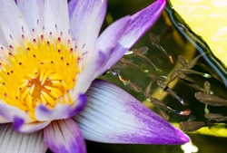 A Water lily on the water surface with small fishes around, top view.