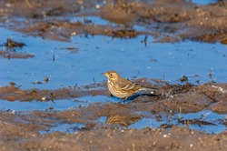 A Water Pipit (Anthus spinoletta) walks through the mud in a pond at the Montezuma National Wildlife Refuge, near Seneca Falls, NY, looking for insects during fall migration.