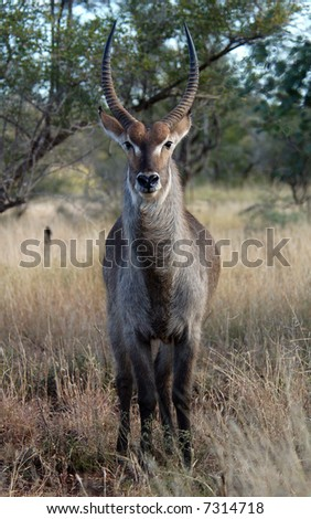 A Waterbuck bull in the Kruger National Park, South Africa.